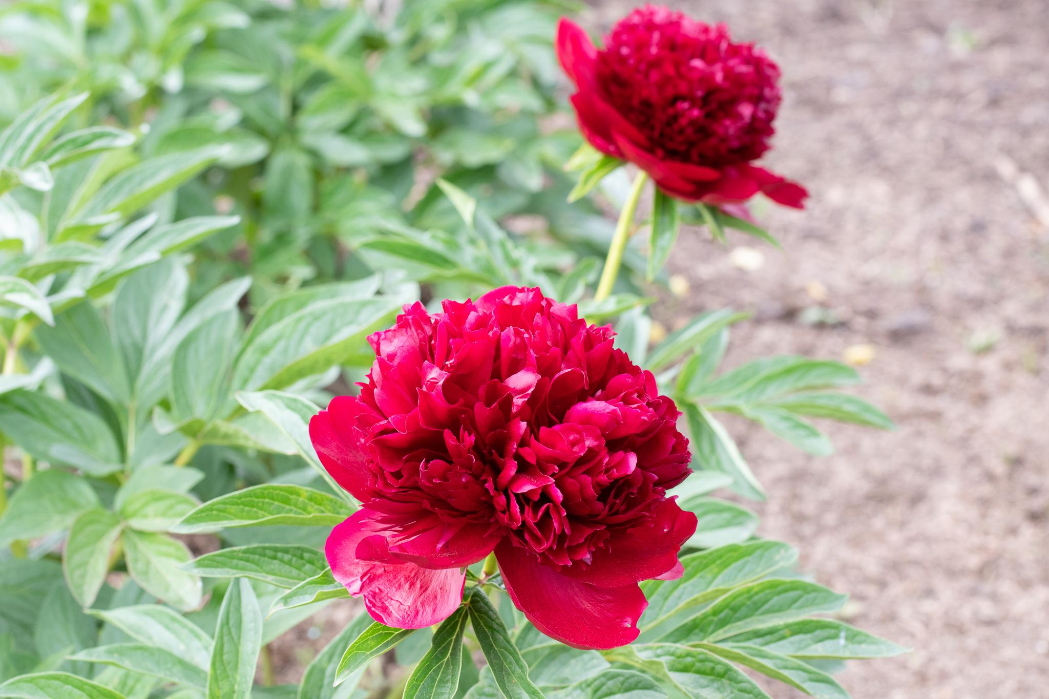 """Red Charme"" Päonienpflanze (Pfingstrose)"