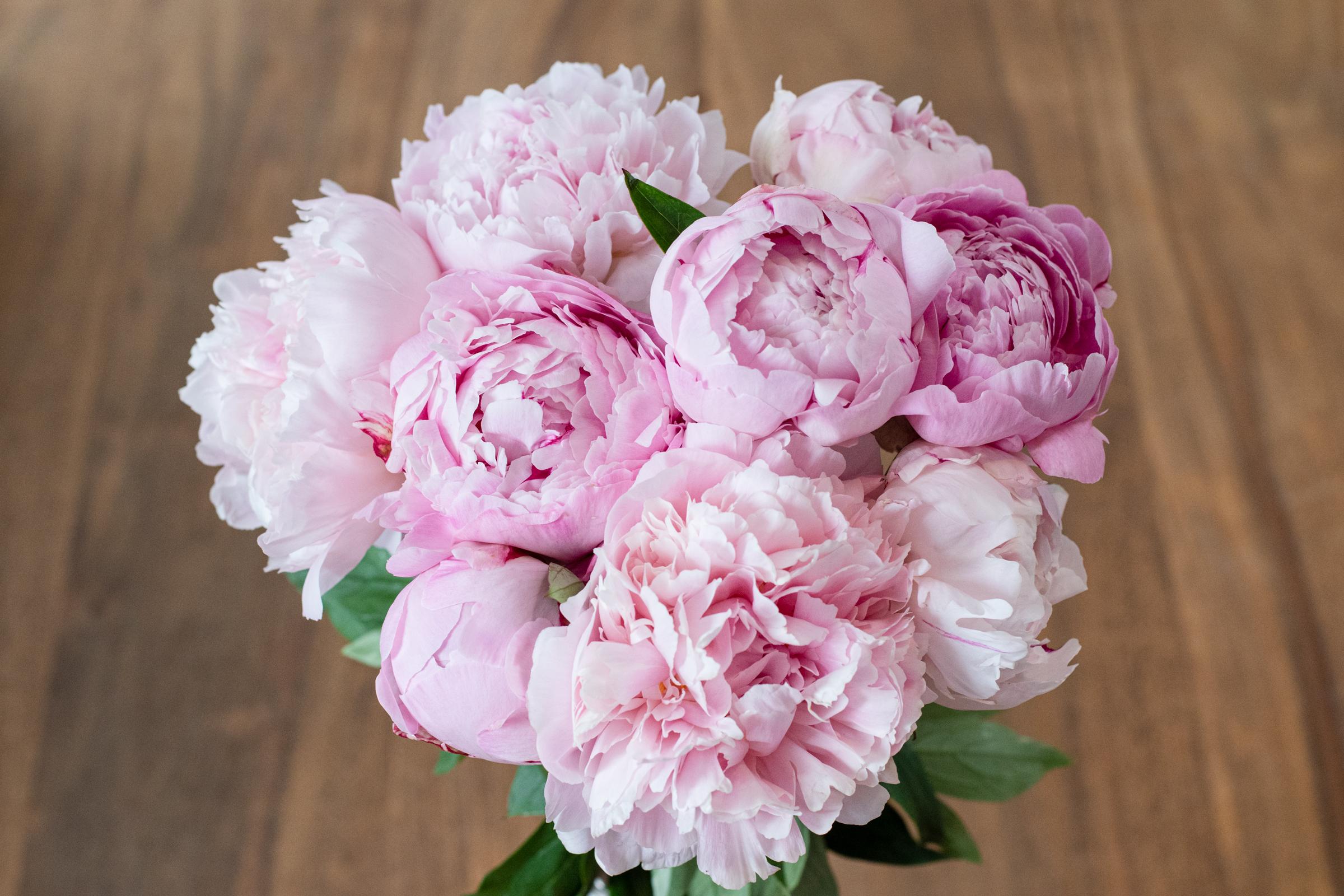 """Päonie """"Sarah Bernhardt"""" (Pfingstrose) - 10 Blumen"""